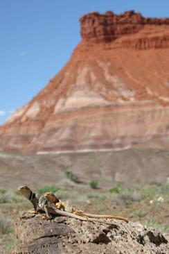 Crotaphytus couple in Grand Staircase Escalante National Monument